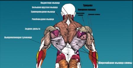 Где находятся основные мышцы и как они работают (2014)