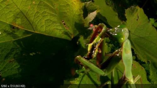 Самые большие и страшные жуки в мире / Animal Planet. World's Biggest and Baddest Bugs (2004) BDRip [720p]