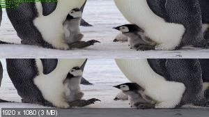Императорские пингвины Пен-И и Сом-И / Слёзы Антарктики 3D / Tears of the Antarctic 3D / Emperor Penguins Peng-yi and Som-yi 3D ( by Ash61) Вертикальная анаморфная